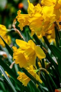 Daffodils are among my favorite flowers and I can't help but smile when I see them!