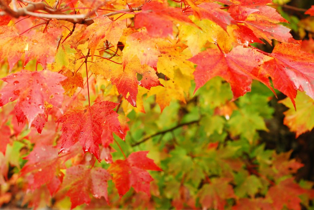 I love fall foliage, I love the deep red colors of trees in the fall!