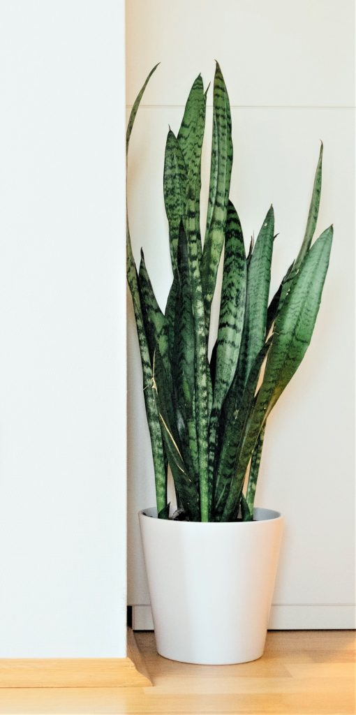 A snake plant can be a wonderful addition to your bedroom!